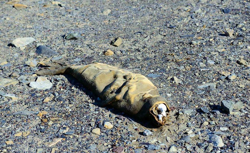 Aufgrund der Trockenheit in den Tälern wegen Wind, Wassermangel und den tiefen Temperaturen, mumifizieren Tiere anstatt zu verrotten. Einige unglückliche Robben, die zu weit ins Innere gelangt waren, fanden dieses grausige Schicksal. Bild: Michael Wenger