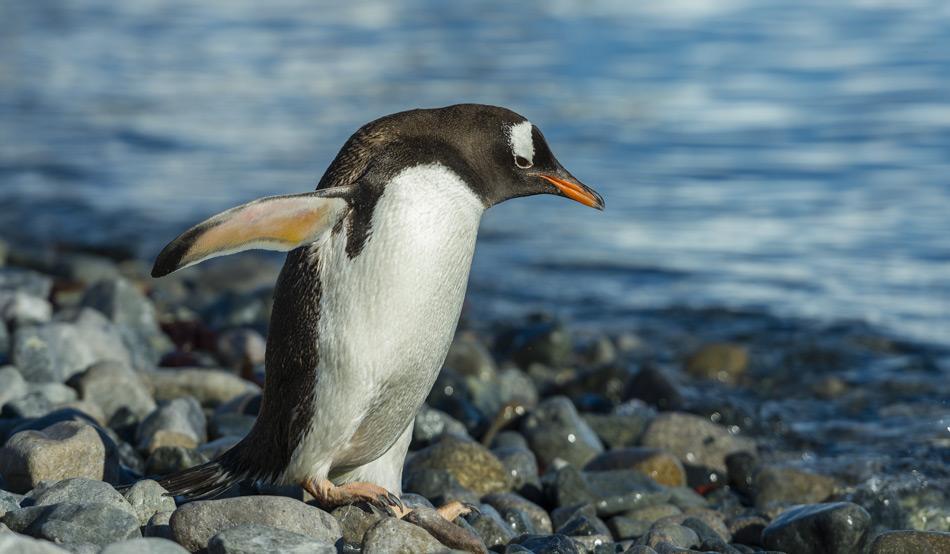 Pinguine ernähren sich von Krill und Fisch. Der wiederum ernährt sich vom Phytoplankton. Änderungen in der Menge des zur Verfügung stehenden Phytoplanktons werden sich auch auf die höheren Lebewesen auswirken. (Bild: Katja Riedel)