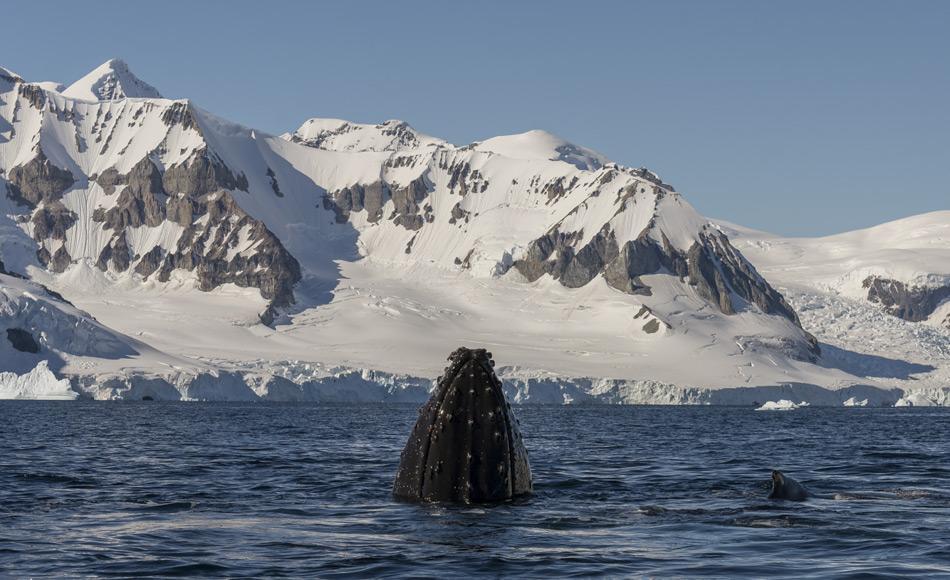 Ein Buckelwal taucht in der Gerlachstraße in der Antarktis auf. Wissenschaftler studieren dort das Verhalten der Wale mit Hilfe von auf den Tieren angebrachten Kameras. Sie erhoffen sich davon, besser zu verstehen wie und wo die Wale auf Futtersuche gehen und wie der Klimawandel dies beeinflusst. (Foto: Katja Riedel)