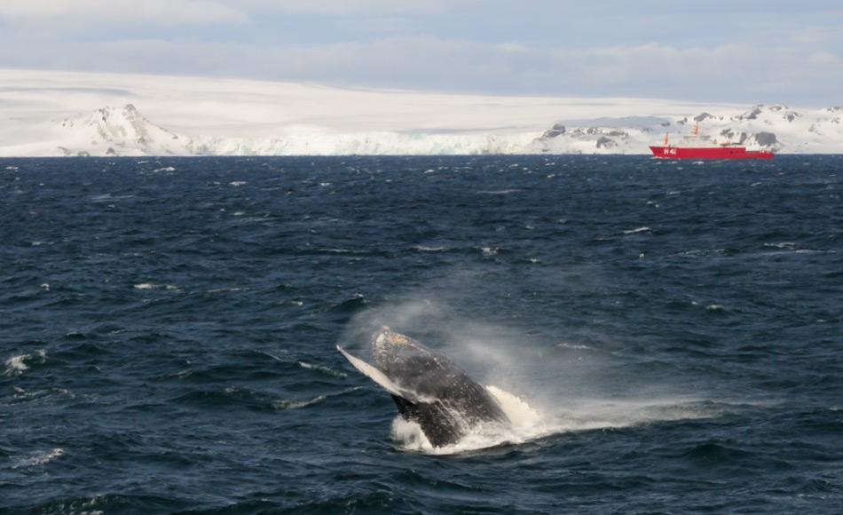 Die antarktischen Gewässer beherbergten immer hunderttausende von Walen aufgrund einer scheinbar endlosen Menge an Nahrung. Besonders Buckelwale wurden und werden wieder häufiger entlang der Küste der antarktischen Halbinsel gesichtet. Bild: Michael Wenger