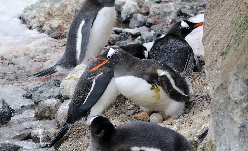 Eselspinguine in der Antarktis sind für ihre auffälligen Rufe bekannt und auch für ihre Fähigkeit, in verschiedenen Habitaten leben zu können. Doch ob diese Generalisten unter den Pinguinen unterschiedliche Rufvariationen je nach Lebensraum haben, ist bislang nicht belegt. Bild: Michael Wenger