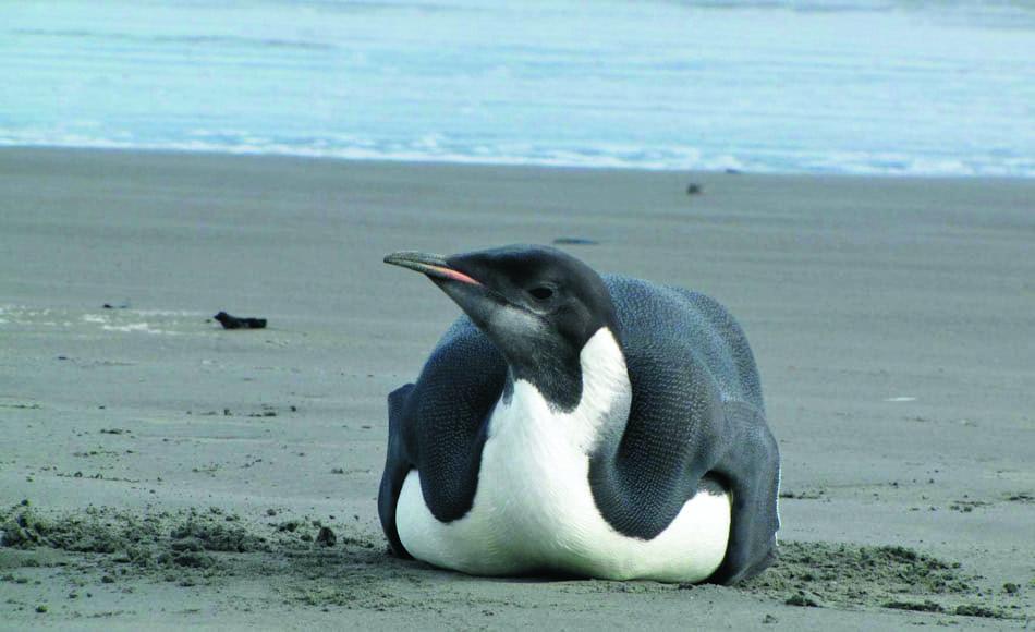 Im Jahr 2011 machte ein junger Kaiserpinguin am Peka Peka Strand von Neuseeland, nahe Wellington Schlagzeilen. Die Resultate der neuen Studie zeigen nun diese Ereignisse in neuem Licht. Bild: Richard Gill / Te Papa Tongarewa)