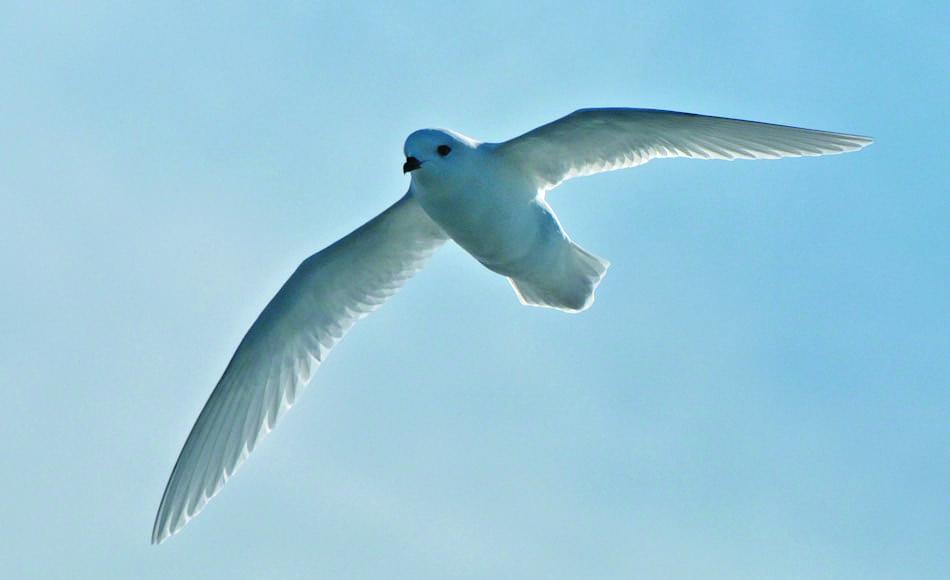 Neben dem antarktischen Kontinent finden sich die Tiere auch auf einigen subantarktischen Inseln in zwei Unterarten. Berichten zufolge wurde ein Schneesturmvogel auch schon am geographischen Südpol gesichtet. Bild: Michael Wenger