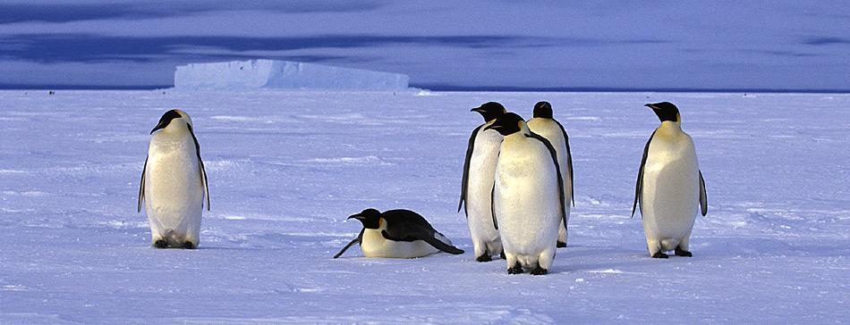 Zur Futtersuche für ihren Nachwuchs müssen die erwachsenen Pinguine von der Kolonie bis zum Meer gelegentlich mehrere hundert Kilometer zurücklegen.
