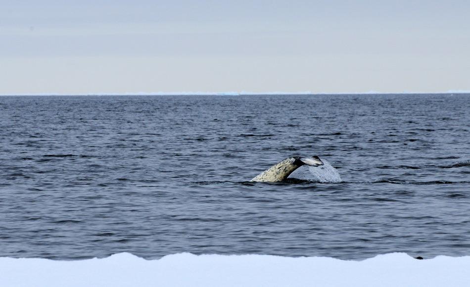 Die verschiedenen Geräusche der Narwale wurden mithilfe zweier Sender aufgenommen, die an den Tieren festgemacht worden waren. Diese bleiben für mehrere Tage am Tier, auch beim Tauchen. Bild: Michael Wenger