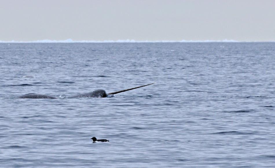 Narwale gehören zu den Zahnwalen und sind mit den Belugas verwandt. Wie diese, leben sie in Verbänden, die mit verschiedenen Geräuschen kommunizieren. Der markante Stosszahn ist vor allem bei den Bullen ausgebildet. Bild: Michael Wenger